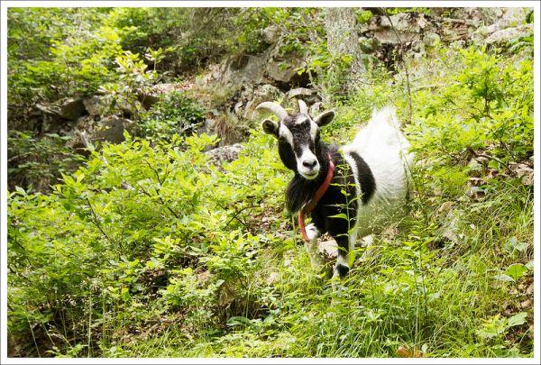 We Met a Goat