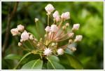 Mountain Laurel Starting to Bloom