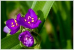 Spiderwort Along the Trail