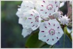 Mountain Laurel CloseUp