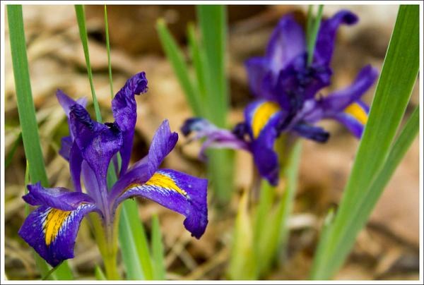Dwarf Irises
