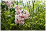 Blooming Mountain Laurel