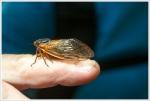 Seventeen Year Cicada