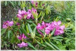 Rhododendron Blooming on Standing Indian Summit