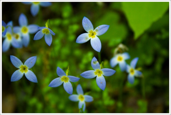 Bluets on Standing Indian