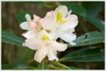 Blooming Rosebay Rhododendron