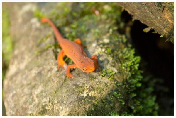Red Newt Eft