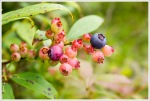 So Many Blueberries on the Appalachian Trail
