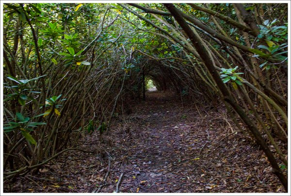 Rhododendron Tunnel