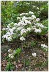 Loads of Mountain Laurel