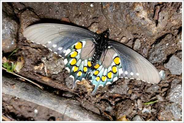 Fallen Butterfly