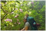 Blooming Catawba Rhododendrons