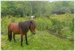 Ponies of Wilburn Ridge