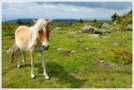 Grayson Highlands Ponies